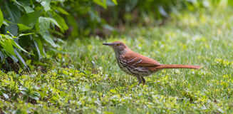Songbird, Brown Thrasher Toxostoma rufum - running around in grass hunting for insects to eat. Stock Images