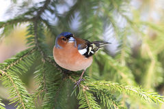 Songbird Chaffinch sings on the branches. Of spruce spring royalty free stock image