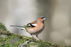 Songbird Chaffinch sings on the branches. Of spruce spring stock photography