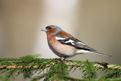 Songbird Chaffinch sings on the branches Royalty Free Stock Image