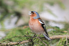 Songbird Chaffinch sings on the branches. Of spruce spring stock photo