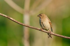 Songbird Common Rosefinch. (Carpodacus erythrinus). Female. Songbird Common Rosefinch on the branch. (Carpodacus erythrinus). Female royalty free stock images