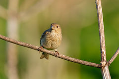 Songbird Common Rosefinch. (Carpodacus erythrinus). Female. Songbird Common Rosefinch on the branch. (Carpodacus erythrinus). Female royalty free stock photography