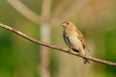 Songbird Common Rosefinch. (Carpodacus erythrinus). Female. Songbird Common Rosefinch on the branch. (Carpodacus erythrinus). Female stock photos