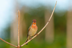Songbird Common Rosefinch. (Carpodacus erythrinus). Male. Stock Image