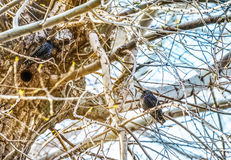 Songbird, Common Starling, Sturnus vulgaris,sitting close to nesthole against spring forest in background. Europe. Birds - Common starling looks out of a nest Royalty Free Stock Images