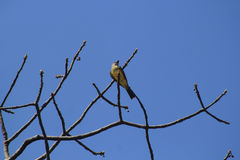 Songbird on dry branch. With blue sky Stock Image