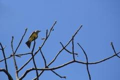 Songbird on dry branch. Songbird on dry branch with blue sky Royalty Free Stock Image