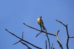 Songbird on dry branch. Songbird on dry branch, with blue sky Stock Photo