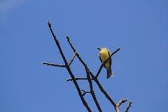 Songbird on dry branch. Songbird on dry branch with blue sky Stock Photography