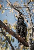 Songbird european starling. Sitting in a tree Stock Image