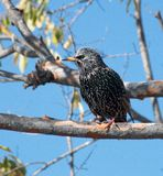 Songbird european starling. Sitting in a tree Stock Photo