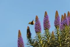 Songbird feeding on flowers. Songbird feeding on Pride of Madeira flowers Stock Photo
