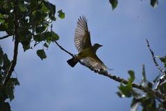 Songbird in flight stock photo