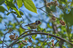 Songbird - goldfinch. Songbird - goldfinch in the branches of a primeval forest Stock Images