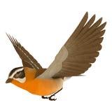 Songbird Grosbeak. 3D digital render of a flying songbird grosbeak isolated on white background Royalty Free Stock Photo