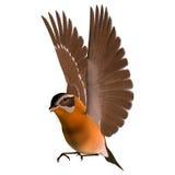 Songbird Grosbeak. 3D digital render of a flying songbird grosbeak isolated on white background Stock Images