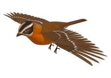 Songbird Grosbeak. 3D digital render of a flying songbird grosbeak isolated on white background Royalty Free Stock Image