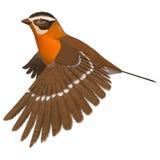 Songbird Grosbeak. 3D digital render of a flying songbird grosbeak isolated on white background Stock Photography