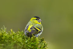 Songbird in the habitat. Eurasian Siskin, Carduelis spinus, song bird sitting on the branch with yellow lichen, clear background,. Czech Stock Photo
