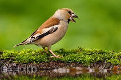 Songbird, Hawfinch, Coccothraustes coccothraustes, brown songbird sitting in the water, nice lichen tree branch, bird in the natur Stock Photos