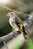 Songbird with opened beak mouth on tree branch. Stock Photography