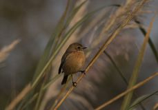 songbird Passerine royaltyfria foton