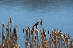 Songbird in reeds. Songbird perched on cattails against blue waters on sunny day Stock Image