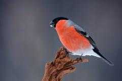 Songbird red Bullfinch sitting on branch, grey background, Sumava, Czech republic. Europe stock photos