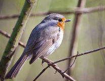 Songbird robin. Sitting on a branch in the forest Royalty Free Stock Photos