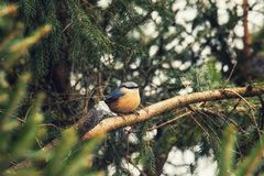 Songbird robin sitting on a branch in the forest. European robin redbreast bird sitting on tree branch all alone during winter stock photos