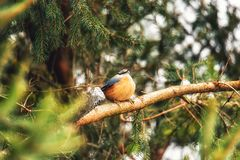 Songbird robin sitting on a branch in the forest. European robin redbreast bird sitting on tree branch all alone during winter stock photography