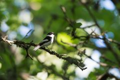 Songbird singing in a bright deciduous forest Stock Images