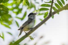 Songbird singing on a rowan tree. Songbird blackcap Sylvia atricapilla singing on a rowan tree in the summer Royalty Free Stock Photography