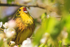 Songbird singing song loud voice. Forest birds and wildlife royalty free stock photos