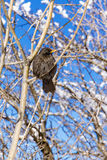 Songbird sitting on a tree. Royalty Free Stock Image