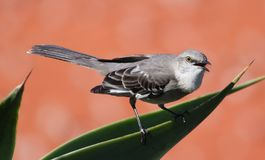 Songbird. A small songbird Royalty Free Stock Images