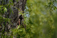 Songbird Star in its tree nest. Songbird Star in his bird's nest in a tree trunk royalty free stock photo
