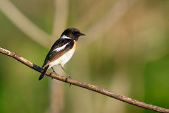 Songbird Stonechat on the branch. (Saxicola torquata). Male. Songbird Stonechat sitting on the branch. (Saxicola torquata). Male Stock Photography