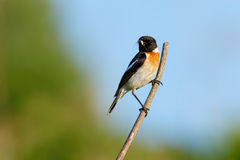 Songbird Stonechat on the branch with spider (Saxicola torquata). Male. Stock Photos