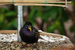 Songbird sturnus vulgaris. A star sits at the birdhouse royalty free stock images