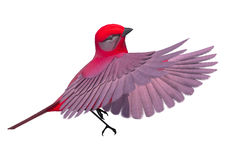 Songbird Tanager. 3d digital render of a flying songbird tanager isolated on white background Stock Images