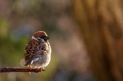 Songbird Tree Sparrow, Passer montanus, sitting on branch. Songbird Tree Sparrow Passer montanus sitting on branch Stock Image