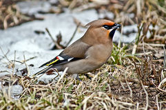 Songbird waxwing. Songbird waxwing in search of food arrives in the city Royalty Free Stock Images