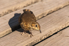 Songbird on wooden boards. Curious songbird on wooden boards Royalty Free Stock Photography