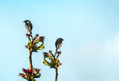 Songbirds royalty free stock image