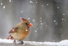 A female Cardinal perches in the snow.. stock photos