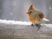 A female Cardinal perches in the snow.. royalty free stock photography
