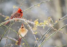 A male and female Cardinal perches in the snow. royalty free stock photo