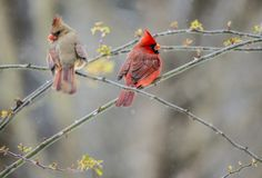 A male and female Cardinal perches in the snow. stock images